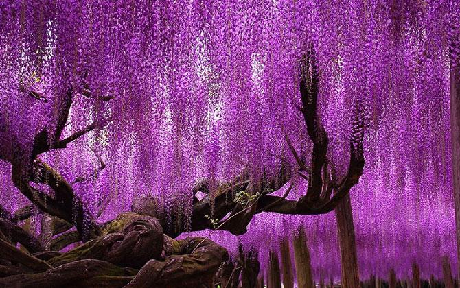 Gökyüzü Ağaç 144 Yaşında