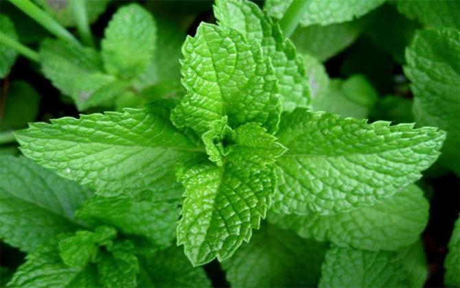 Diyete yardımcı olacak bitkiler nelerdir?