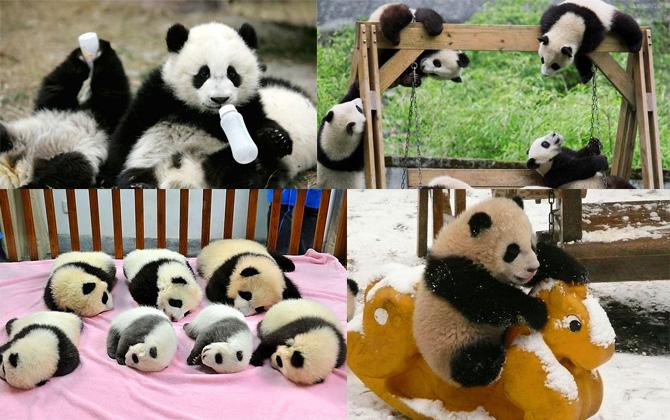 Çin'de Pandalara özel bakım evi!